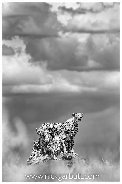 Female cheetah with cubs (Acinonyx jubatus) (around 16 weeks old) on termite mound. Short grass plains of the Serengeti / Ngorongoro Conservation Area (NCA) near Ndutu, Tanzania.