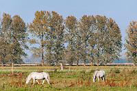 Pferde auf der Weide in Linum, Fehrbellin, Ostprignitz-Ruppin, Brandenburg, Deutschland