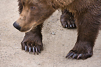 Brown bear claws, Katmai National Park, southwest, Alaska.