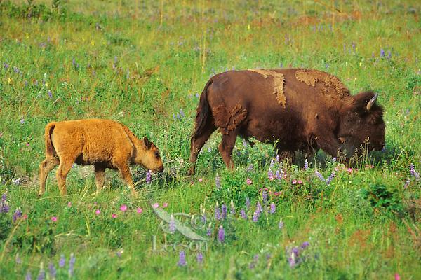 American bison cow and calf (Bison bison), Western U.S., June.