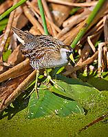 Sora standing in marsh  in Wakodahatchee Wetlands, Florida