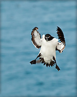 Razorbill coming in for a landing with feet down and wings outstretched, facing camera