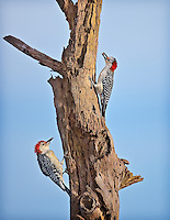Two Red-Bellied Woodpeckers on a dead tree, one with a berry in it's mouth