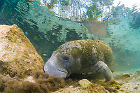 Florida manatee, Trichechus manatus latirostris, a subspecies of the West Indian manatee, Trichechus manatus, Three Sisters Springs, Crystal River, Florida, USA