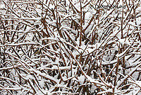 1J04-515z  Black-capped Chickadee, camouflaged on snow covered branches,  Poecile atricapillus or Parus atricapillus
