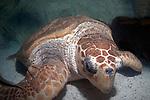 Loggerhead Sea Turtle resting on coral sand bottom