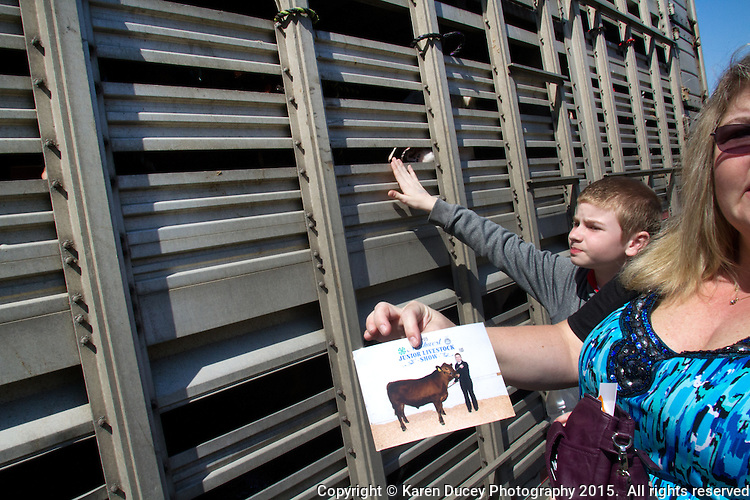"""Steers are loaded onto a trailer to be hauled to a slaughterhouse after being shown.  Thomas Asplund, 12, from Milton, WA peers through metal grates at his sister's red angus  cow, that she raised for the Northwest Junior Livestock Show at the Washington State Spring Fair in Puyallup, WA. He says eventually he will go into the FFA but he has no desire to be a farmer. He helped his sister a lot raising the cow.""""He likes having the spot under his chin scratched,."""" he said. <br /> Students in the FFA and 4H programs participate in the auction of livestock including steers, lambs and hogs in the Northwest Junior Livestock Show at the Washington State Spring Fair in Puyallup, Wash. on April 19, 2015.  (photo © Karen Ducey Photography)"""