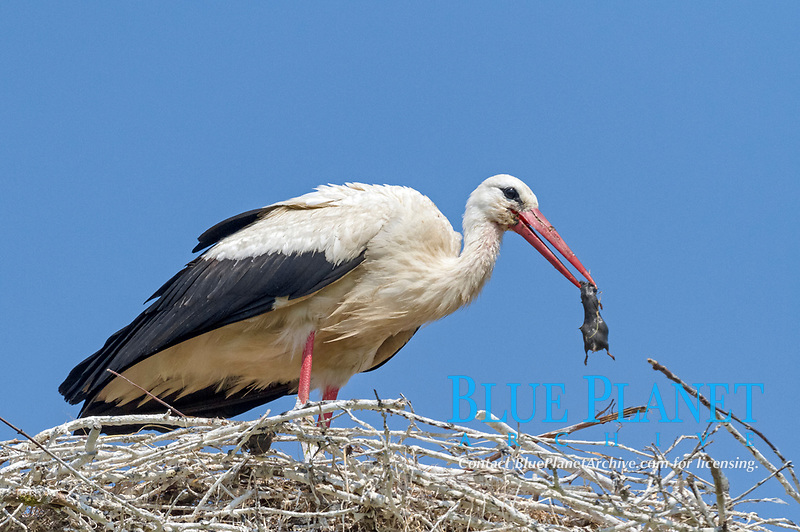 White Stork (Ciconia ciconia) with a captured rat, Schleswig-Holstein, Germany, Europe