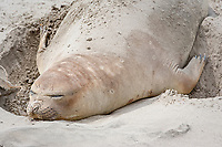 southern elephant seal, Mirounga leonina, female, Punta Delgada, Peninsula Valdes, Chubut, Patagonia, Argentina, Atlantic Ocean