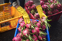Sorting Dragon Fruit for Whole Sale along the road amongst many Dragon Fruit Farms, Orchards in northern Vietnam, north of Hanoi.