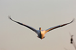 White Pelican in Flight at Sunset (head-on), American White Pelican, Sepulveda Wildlife Refuge, Southern California