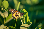 Monarch butterfly in July.