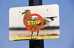 Stop Do Not Feed The Birds, Herring Gulls seagulls. Rosel, Jersey The Channel Islands UK 2000s