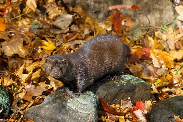 Mink among river rock and fallen leaves along edge of stream.  Fall.  Minnesota.