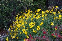 Encelia californica - Coast Sunflower, California brittlebush, or Bush Sunflower perennial subshrub flowering in Leaning Pine Arboretum, California garden