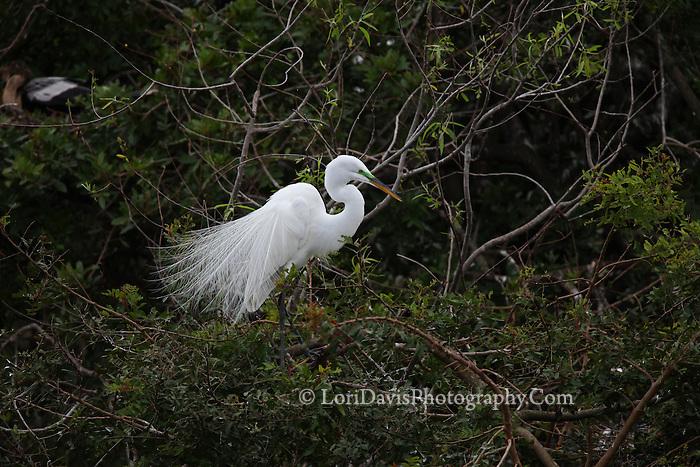 Great Egret in Tree  #E13