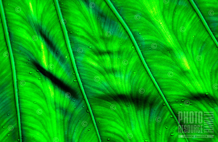 Close up of back lit taro leaf