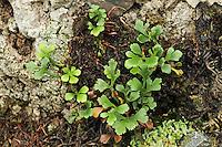 Schwäbischer Streifenfarn, Asplenium x murbeckii, Hybride, Bastard aus Asplenium ruta-muraria und Asplenium septentrionale, Murbeck's Spleenwort, Asplénie de Murbeck