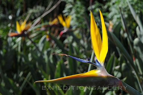 Bird of Paradise flower (Strelitzia reginae), Kirstenbosch National Botanical Garden, Cape Town, South Africa.