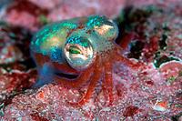 bobtail squid, Little cuttlefish, Sepiola atlantica, Bergen, Hordaland, Norway, North Atalntic Ocean