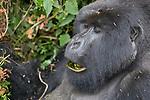 Mountian Gorilla Eating