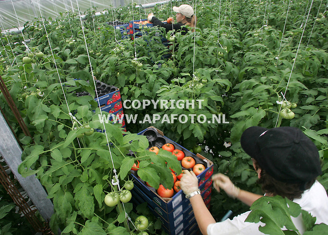 oosterhout (gld) 241005 tomatenteler frank veltman is begonnen met de oogst van vleestomaten.<br />foto frans ypma APA-foto