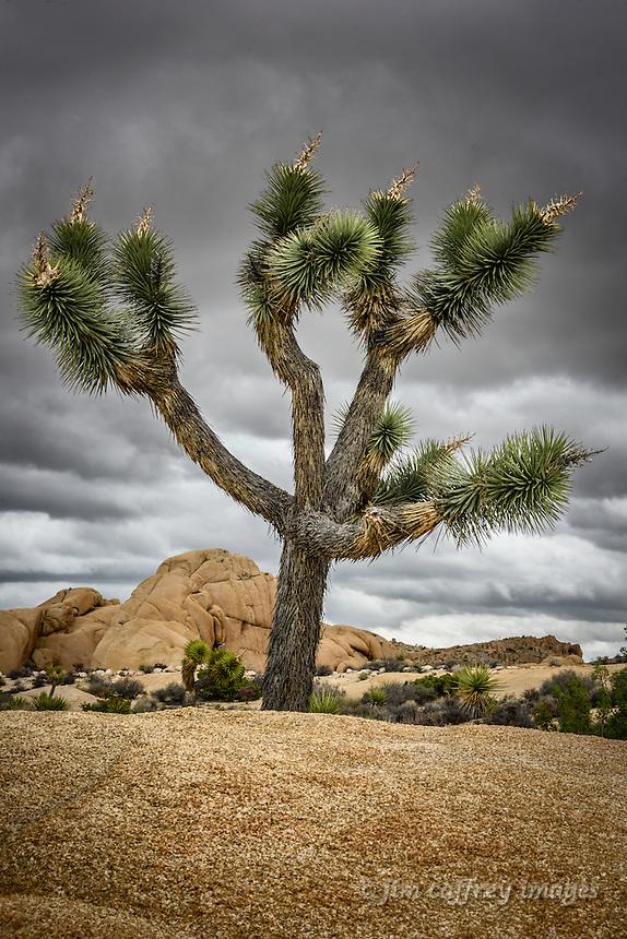 A Joshua Tree provides a sharp contrast to the surrounding rocks at California's Joshua Tree National Park.
