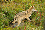 A solitary gray wolf crosses a creek in Denali National Park, Alaska.
