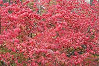 Euonymus alatus Burning Bush in autumn colour