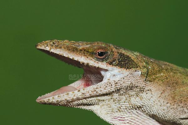 Green Anole (Anolis carolinensis), head, Sinton, Corpus Christi, Coastal Bend, Texas, USA