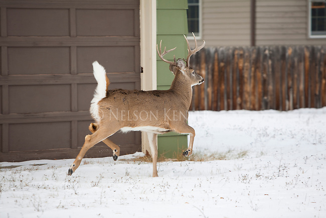 Whitetail buck in a back yard in Missoula, Montana