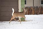 Whitetail buck in a back yard in Missoula, Montana