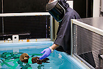 Sea Otter (Enhydra lutris) researcher Karl Mayer bathing rescued pup while wearing disguise to dissociate the care it receives from humans, Monterey Bay Aquarium, Monterey Bay, California