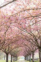 France, Loir-et-Cher (41), Cellettes, Château de Beauregard et parc en avril, allée bordée de cerisiers du Japon 'Kanzan' en fleurs (Prunus serrulata 'Kanzan') au dessus du jardin des Portraits