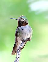 Adult male broad-tailed hummingbird