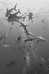 Great Barrier Reef, Australia; dozens of grey reef sharks circling a bait box during a shark feed dive