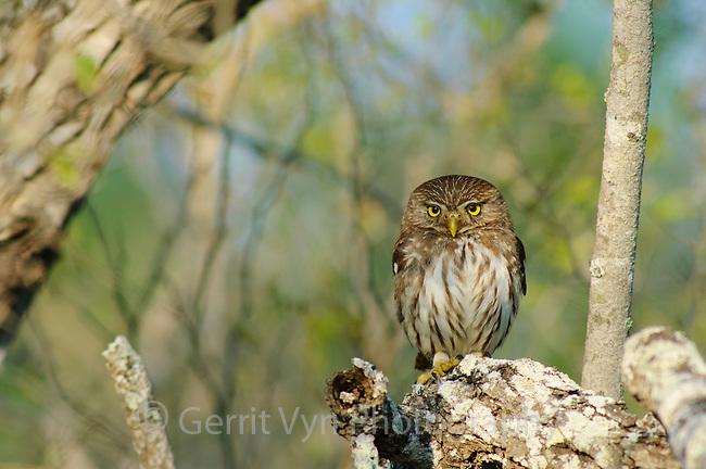 Adult Ferruginous Pygmy-Owl (Glaucidium brasilianum). Hidalgo County, Texas. March.