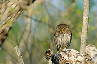 Adult Ferruginous Pygmy-Owl (Glaucidium brasilianum). Hidalgo County, Texas. March.