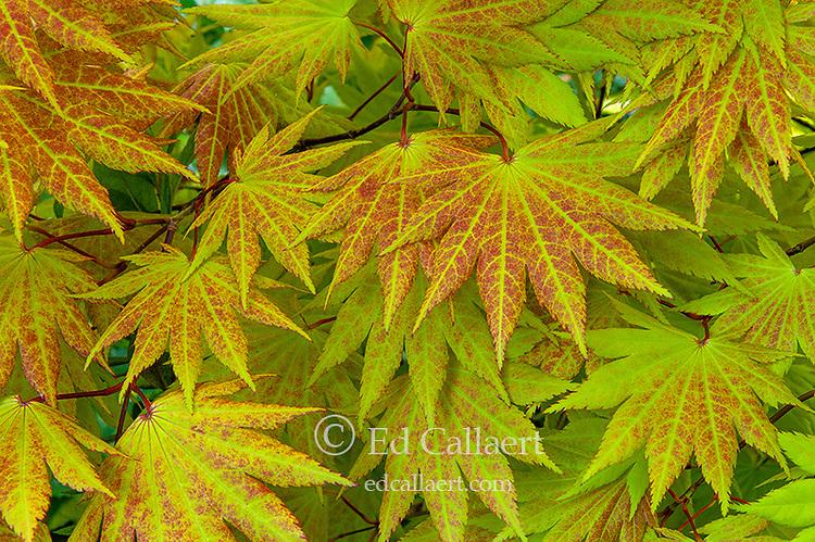 Leaf Detail, Japanese Maple, Acer Shirasawanum, Cypress Garden, Mill Valley, California
