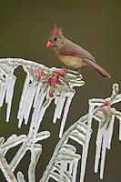 Northern Cardinal (Cardinalis cardinalis), adult male perched on icy branch of Christmas cholla (Cylindropuntia leptocaulis), Hill Country, Texas, USA