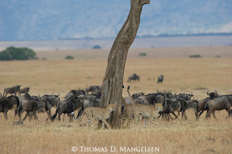 Three cheetahs mark a tree on the Maasai Mara plain as a herd of blue wildebeest keep a close watch on the cats. Kenya.