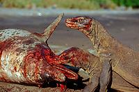 Komodo dragons eating dead dolphin, Varanus komodoensis, Rinca, Komodo National Park, Indonesia