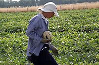 AGRI Raccolta di meloni. Melons harvest 2