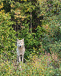 Wolf in the bush at the edge of the Ingraham Trail, 60 km east of Yellowknife, NT