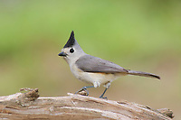 Adult Black-crested Titmouse (Baelophus atricristatus). Starr County, Texas. March.