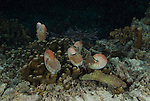 Several nautilii roaming coral reef at night, Nautilus pompilius