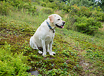 Golden labrador outdoor portrait.