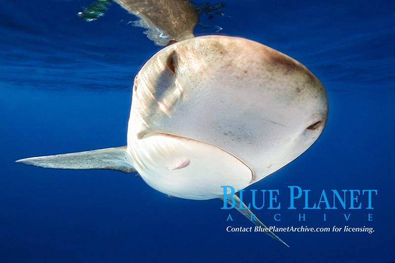 oceanic whitetip sharks, Carcharhinus longimanus, with remora, Big Island, Hawaii, Pacific Ocean
