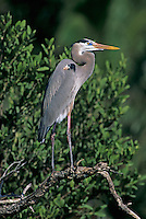 Great Blue Heron, Ardea herodias, adult, Sanibel Island, Florida, USA