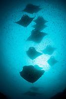 reef manta rays, Mobula alfredi, feeding on plankton, Hanifaru Bay, Hanifaru Lagoon, Baa Atoll, Maldives, Indian Ocean